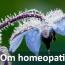 Borago blomma - homeopati